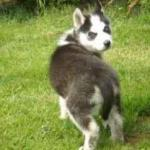 Achat Husky Belgique Luxembourg France achat Chiot Husky