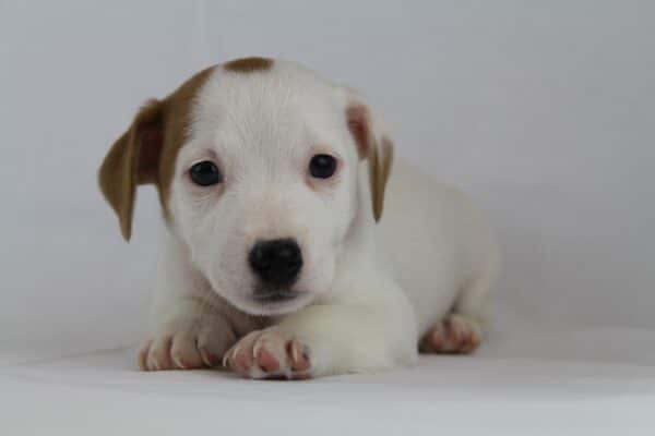 Buy Jack Russell terrier from breeder
