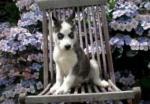 Husky welpen kaufen beim Husky züchter