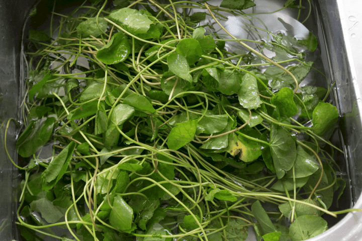 Pennywort in water in a sink
