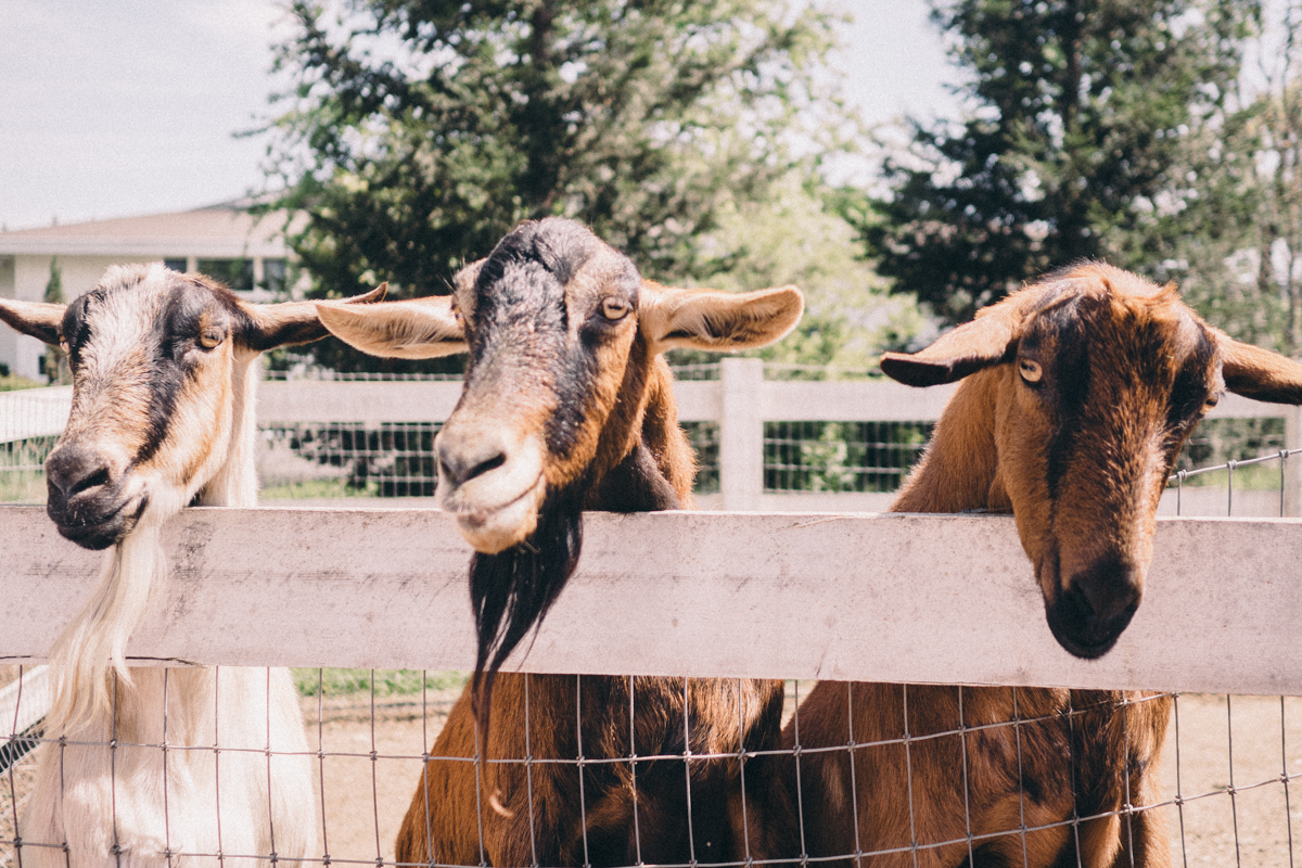 All Aboard the Napa Valley Wine Train   Goats at Raymond Vineyard   Wolf & Stag