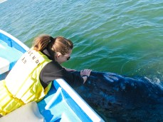 The curious baby grey whale coming up to check us out and let me stroke his head.