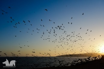 Birds playing in the sunset in Paracas National Park