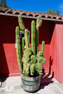 A marvelously contorted cactus