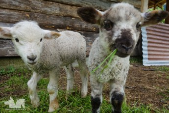 The adorable little lambies.
