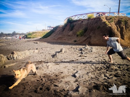 The Wolfy playing with one of his cousins on the beach in Pichilemu