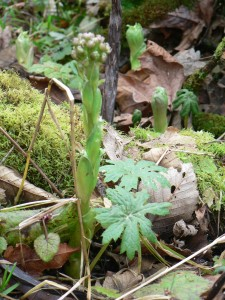 plant-palmate-coltsfoot-flower-and-leaves-emerging