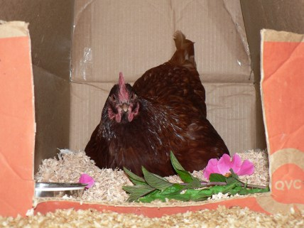 RIR, Gingersnap, with fresh peppermint and roses in her nestbox.