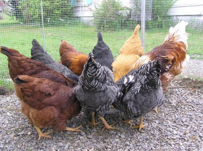 Herbal and Critter Forage for Healthy Chickens
