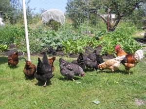 Organically raised chickens foraging on grass at Blue Skye Farm.