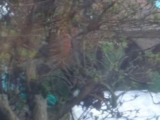 House Finch Camoflaged in bush near Sunflower Feeder