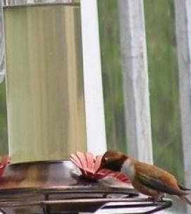 Rufus Hummingbird at Wolf College Feeder