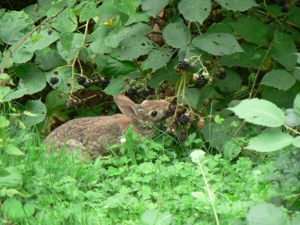 Rabbit foraging on blackberries