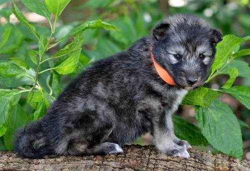 Wolf Hybrid Puppies In Fabulous Wolf Hybrid Wolfdog Puppies