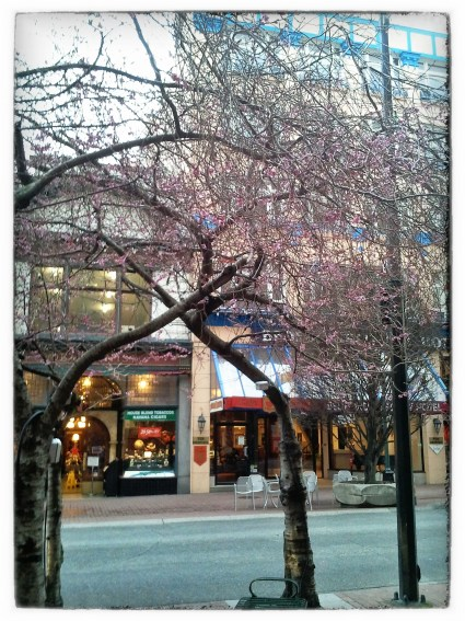 Cherry Blossoms - Snapseed