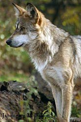 Image of a wolf: Tano