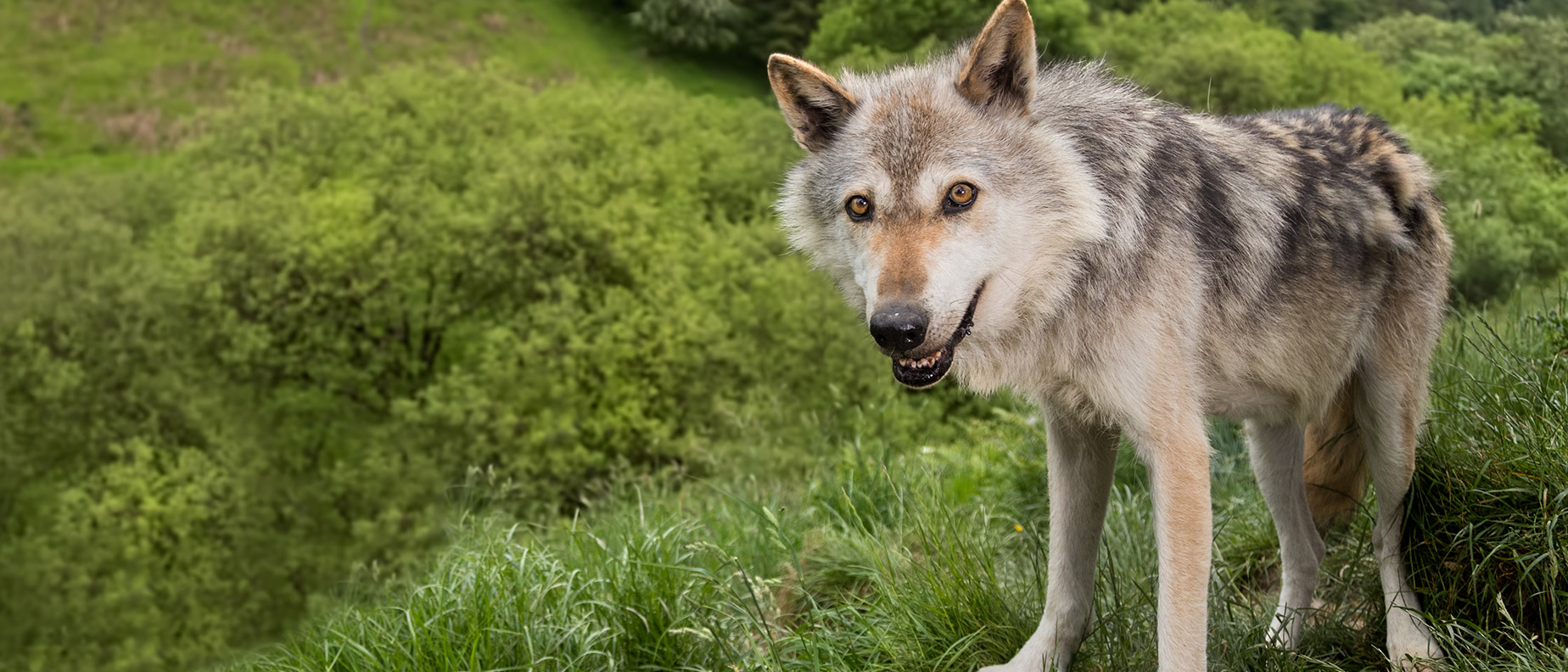 Rescue and conservation of displaced wolves  Wolf Watch UK