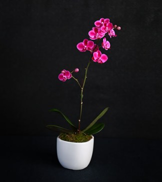 Majestic in colour and appearance, the gorgeous phalaenopsis orchid is recognised as one of the most beautiful flowers within the floral kingdom.