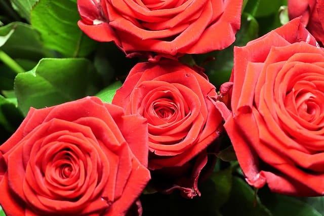 roses-1041156_640