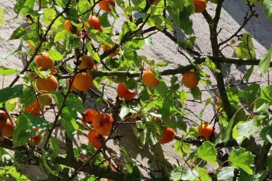 apricot-1526734_1280-1