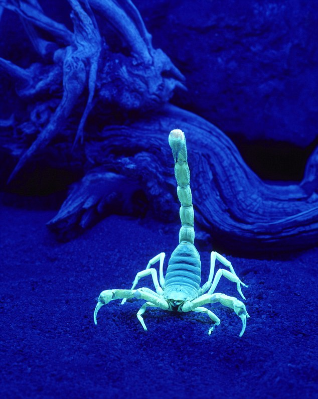 ARX3PR Scorpion (Hadruus arizonensis) under a black light. Image shot 2004. Exact date unknown.