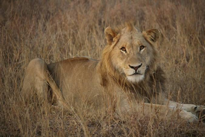 lionmale