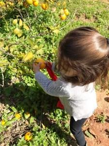 קטיף תפוזים בחוות עידן הטבע