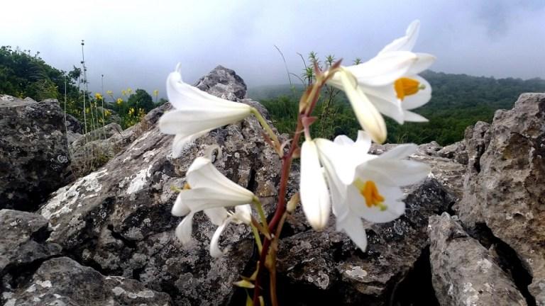הצעה לטיול לשבת: טיול לפריחת השושן הצחור בקרן ברתות בגליל המערבי