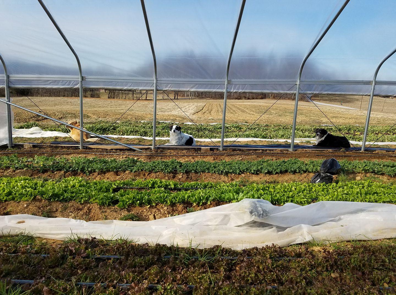 Good Dog Farm – Organic Produce Upperco MD