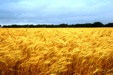 Field of ripe grain at harvest time