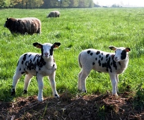 Speckled lambs
