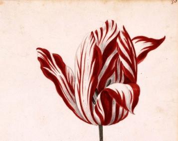 tulip-mania
