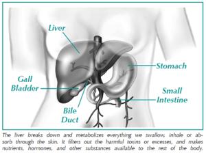 Illustration of the liver