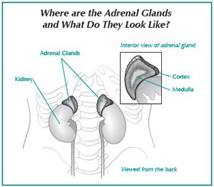Illustration of the adrenal glands