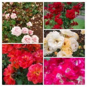 The roses in the famous Rose garden
