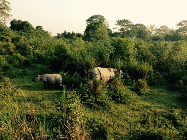 Rhinos at Kaziranga National Park