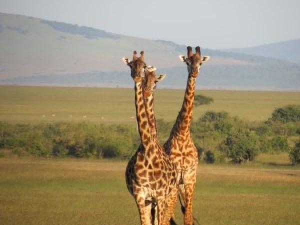 Kenya Safari Toddler Giraffe