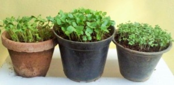 Microgreens grown in small mud or plastic pots (8 days after seeding)