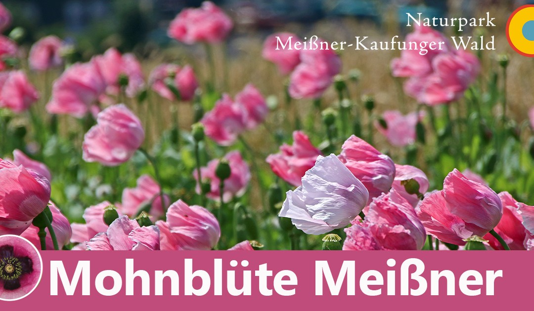 Mohnblüte 2020 im Frau-Holle-Land