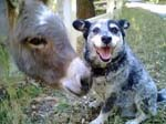 Donkey and dog
