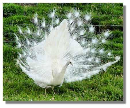 White peacock 03