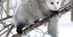 Opossum gestation period