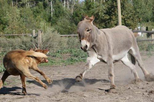 Donkey & Cow