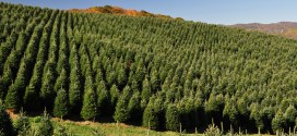 Christmas Trees production in the U.S.