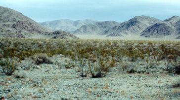 Creosote bush in Sonoran Desert, Arizona