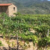 Moscatello di Taggia: un nuovo antico vino.