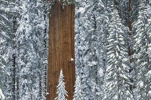 General Sherman Largest Trees