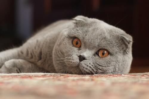 Bizarre Cat Breeds, Scottish Fold