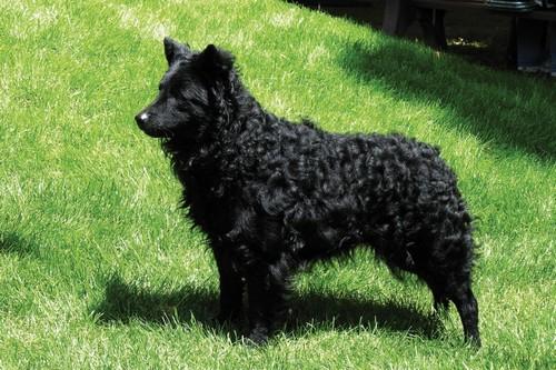 Mudi Unique Dog Breeds