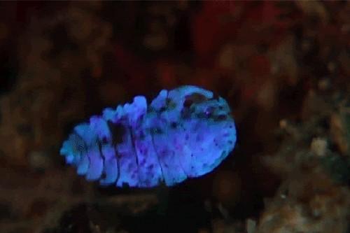 Sea Saphire